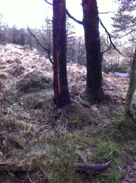 Flere trær på en bestemt plass i skogen har samme type skade.