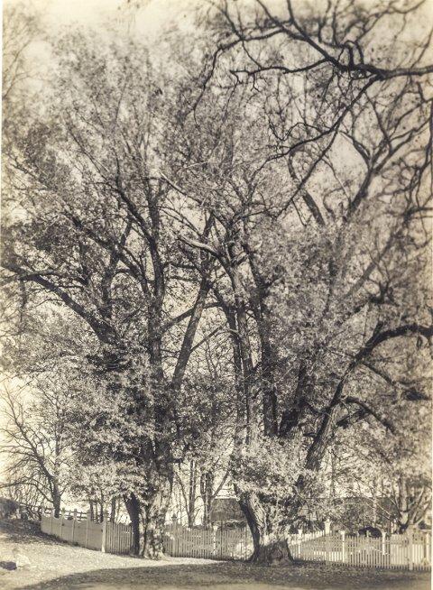 ADAM OG EVA: De store lindetrærne ved Rød Herregård sto i bakken opp mot Glenne, der veien nå går opp til parkeringsplassen ved herregården. Foto trolig fra 1917 i De Ankerske Samlinger.