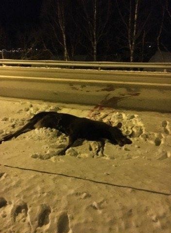 Måtte avlives: Denne elgen måtte bøte med livet etter å ha blitt påkjørt torsdag kveld.