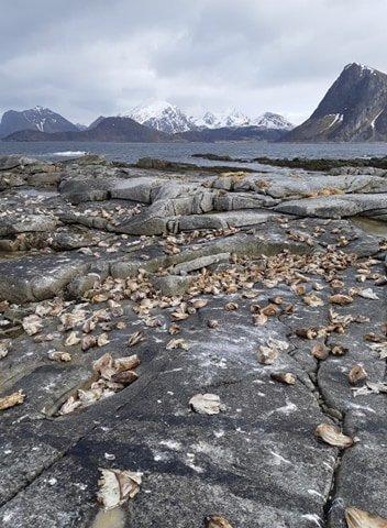 HAU: Hauene lå strødd ned mot fjæra.