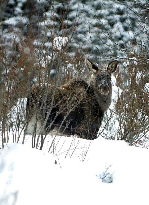 Beiteskader: Elgen kan ha forårsaket skade på skog i vinter.