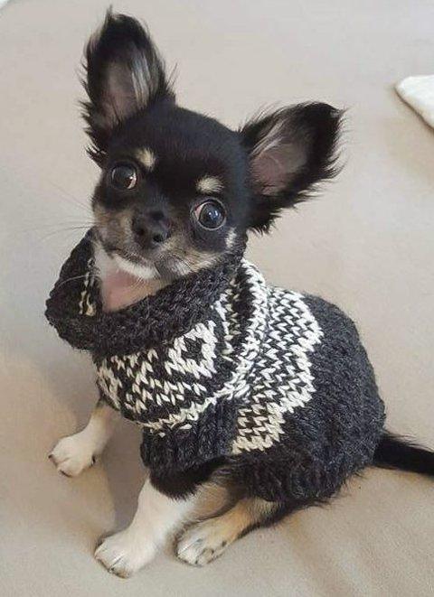 MINIUTGAVE: Så fin blir en bitte liten chihuahua i grått og hvitt. FOTO: PRIVAT