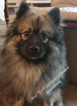 Hunden er en blanding av Mittelspitz og Keeshond og er grå og svart.