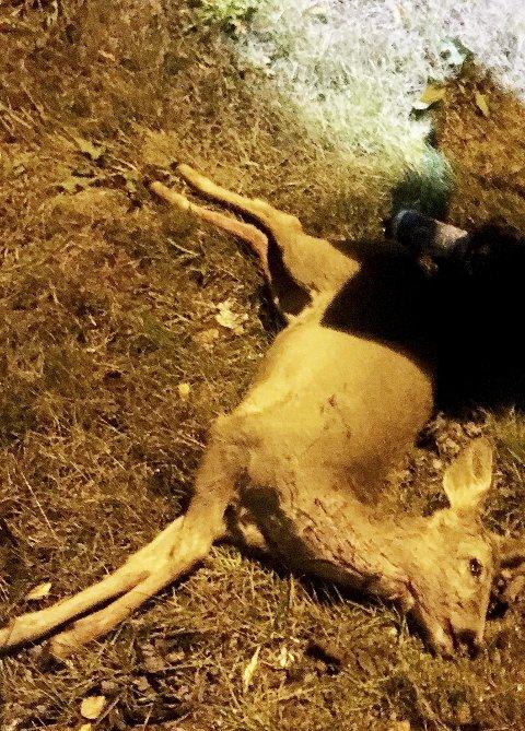 Måtte avlives: Rådyret var hardt skadd da det ble funnet. Foto: Privat