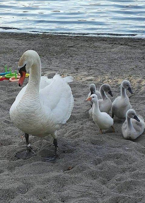 Svanefamilie på Lyseren har tatt en gås under vingene