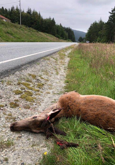 Denne hjorten måtte avlivast etter møtet med ein bil natt til søndag. (Foto: Atle Helland).