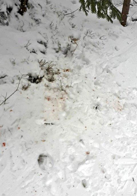 Blodspor: Hanne Risheim og Tor Aasmundstad undersøkte ikke langt ut på sidene, men det de så fra løypa viser tydelig at ulvene mente alvor i  skiløypa. ** Se video litt lenger ned i saken ** Alle foto: Hanne Risheim