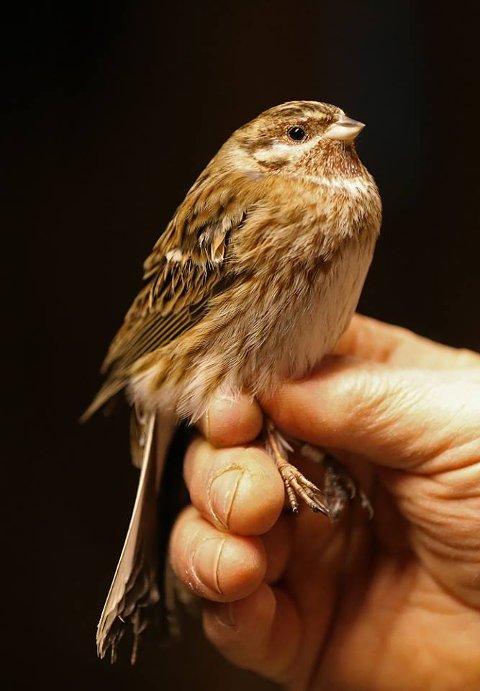 FLØY I NETTET: Ringmerker Bjørn Gokstad Thorsen fikk en svært sjelden art i nettet tirsdag ettermiddag. Den holder vanligvis til i Sibir eller Sørøst-Europa.