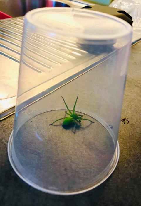 PÅ HJEMMEBESØK: Denne grønne edderkoppen besøkte Bodil Blöe Hanssen og mannen på Sjøhagen tirsdag. De forteller at de aldri har sett noe lignende.