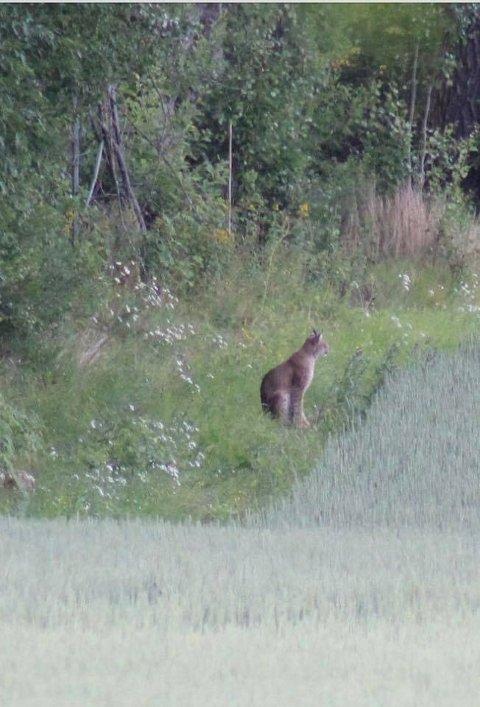 Sjeldent syn: Mandag morgen fikk Mikael Djurstedt øye på en gaupe utenfor huset sitt.