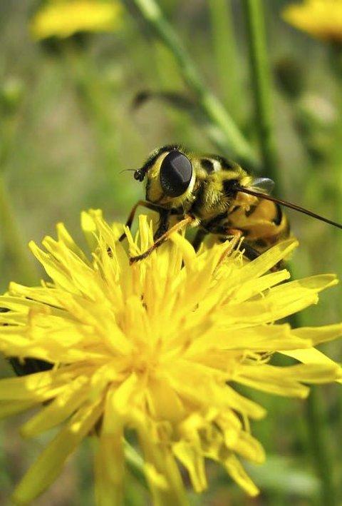 Trenger hjelp: Du kan hjelpe biene ved å plante blomstene de elsker.