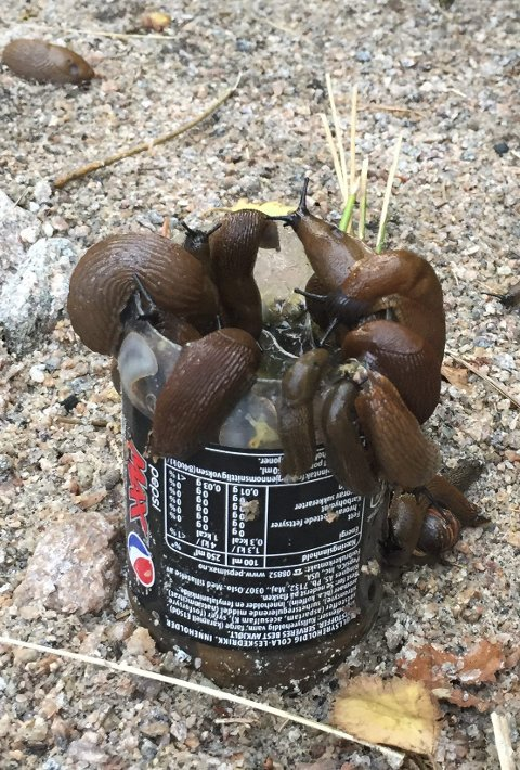 Tørste: Disse sneglene har krøpet opp i den gamle brusboksen fylt med øl.