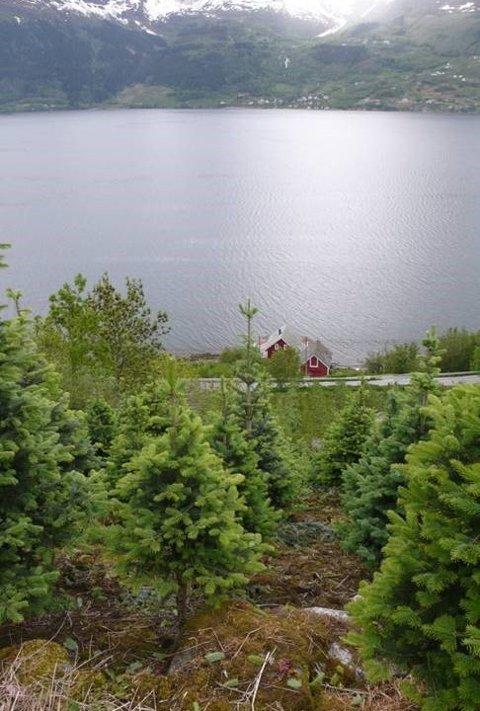 Julegranfelt med fjelledelgran i Hardanger.
