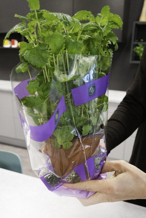 FJERN PLAST: Man bør ikke la krydderplanten bli stående med plastemballasje rundt.
