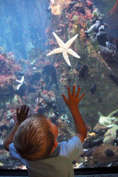 vÖLESUND 20070804 :  Akvariet i vÖlesund er et av norges mest besv?kte turistattraksjoner. Spennende er det for stor og liten v se hva som egentlig er under havoverflaten. Sjv?stjerne.  Foto: Lise vÖserud / SCANPIX (FRB) MODELLKLARERT