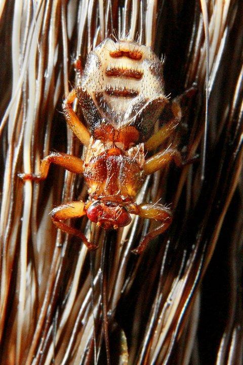 Kongsvinger: 09.10.2010 Hjortelusflue (Lipoptena cervi) er en av lusfluene (Hippoboscidae), og er en blodsugende parasitt på hjortedyr som rådyr, elg og hjort. Den er kjent som både hjortelus og elglus, men må ikke forveksles med flått. FOTO: OLE-JOHNNY MYHRVOLD