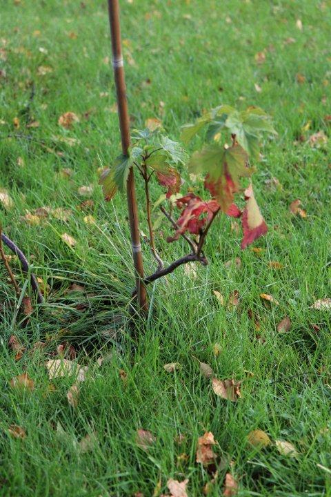 HØSTJOBB:  En liten nyplantning er klar for vinteren
