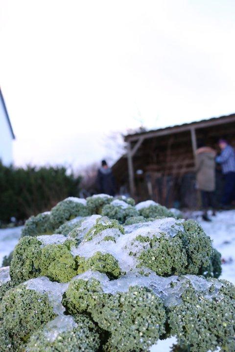 Grønnkål er en populær og næringsrik grønnsak, og den kan høstes direkte fra åkeren gjennom vinteren.