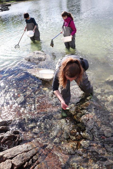 24052019:Skeisvang-elever plukker Stillehavsøsters:  Her er Apollon Rustaj, Lena Kovacevic og Elin Smith i forgrunnen   på jakt etter østers
