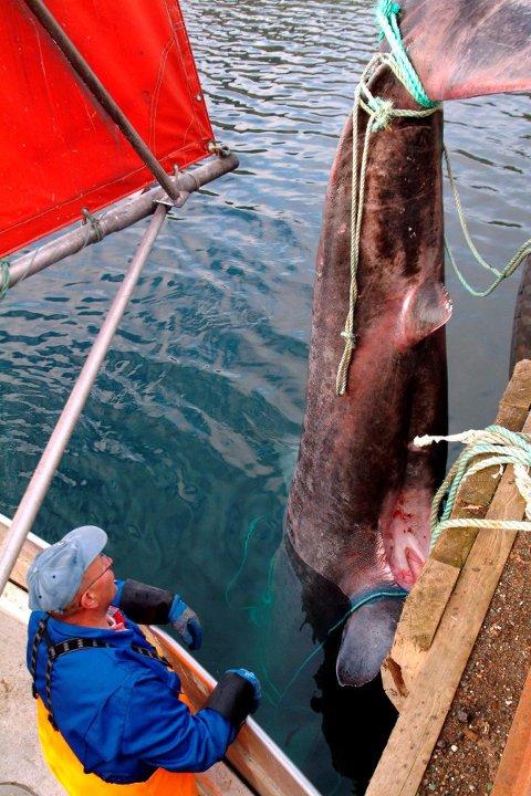 Fisker Sigmund Jensen fikk brugde på fem tonn i garnene