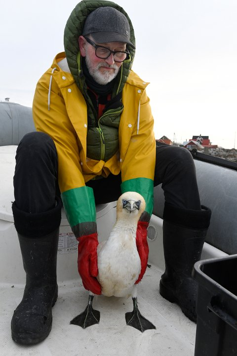 Matfar: John Stenersen har vært matfar for havsulen Basse i flere uker. 16. mai dro han fra redet i Henningsvær.