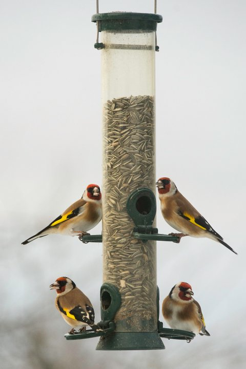 STILLITS: Disse stillitsene lever fri som fuglen og nyter godt av godsakene som legges ut til dem i hagen på Langhus.