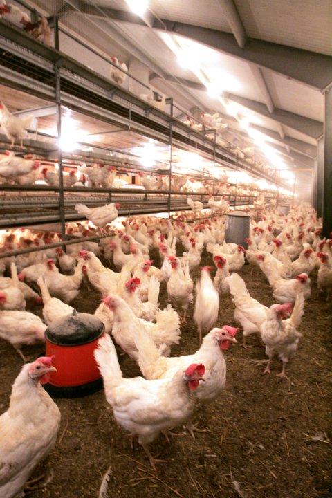 FUGLEINFLUENSA: Flere steder på Østlandet har fått portforbud for fjørkre etter at det er påvist fugleinfluensa.