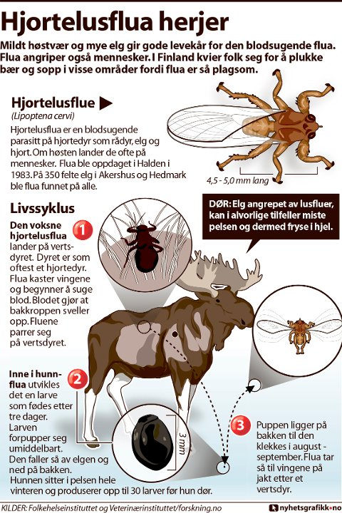 Mildt høstvær og mye elg gir gode levekår for den blodsugende flua. Flua angriper også mennesker. I Finland kvier folk seg for å plukke bær og sopp i visse områder fordi flua er så plagsom.