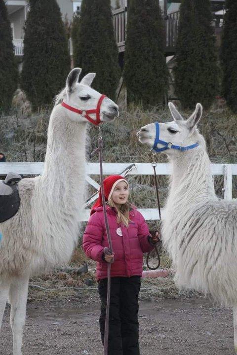 BESØK EN LAMA: På Brekka gård har de lamaer som man kan få hilse på i vinterferien.