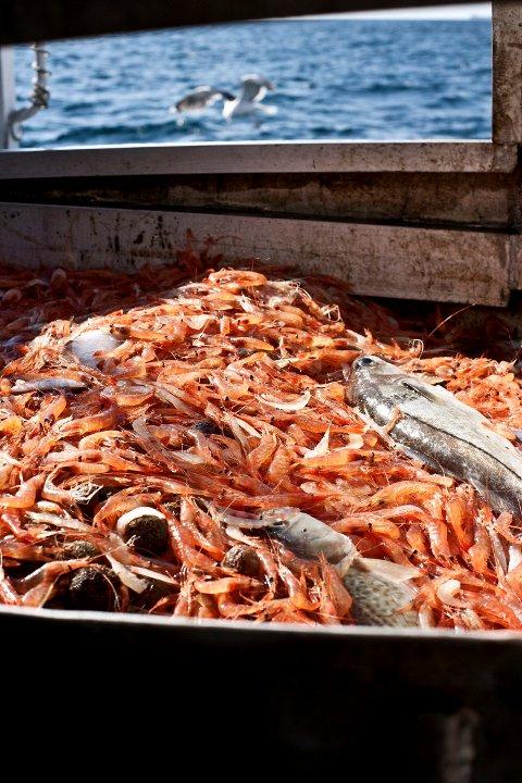 BIFANGST: Rekefiskerne får mye annet enn reker i trålen. Nå må de pålegges å bruke rist foran trålposten for å skåne fiskebestanden, mener Knut Adolfsen, som dermed er enig med Fiskeridirektoratet.
