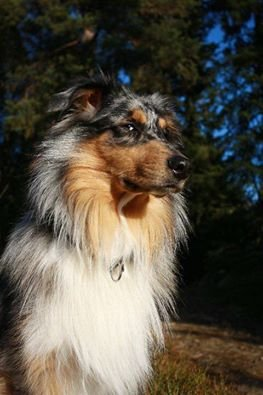 FORSVANT ETTER Å HA FÅTT STRØM: Hunden Nico forsvant onsdag ettermiddag, men kom til rette igjen på kvelden. Foto: Privat
