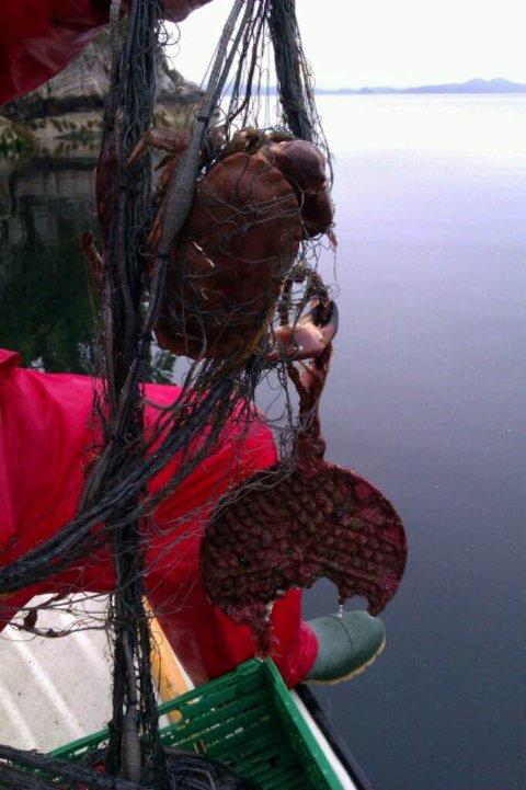 Denne krabben hadde med seg tilbehør - eit gammalt vaffeljern! (Foto: Privat).
