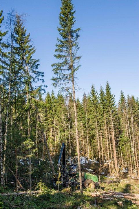 I dag er grana vår dominerende tresort og den viktigste for skogbruket