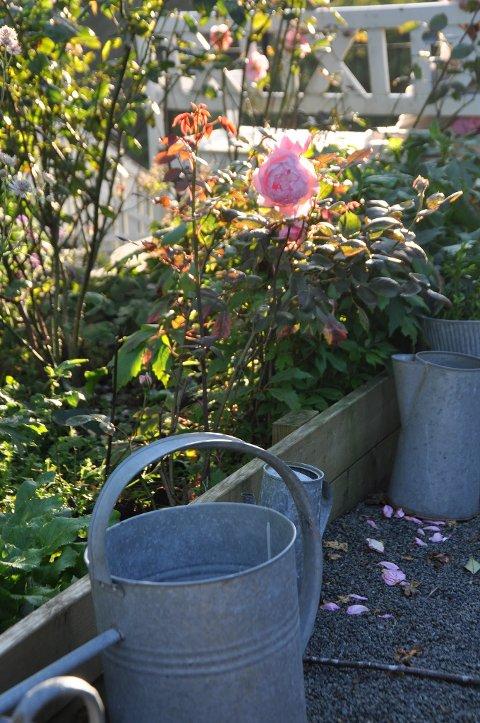 RYDDEJOBB: Noen direkte ulempe er det nok ikke på en solskinnsdag å fjerne nedfallent løv under rosebuskene. Det forebygger sykdommer til neste år.