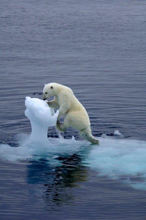 ISBJØRNBILDE #2: Bildet i toppen av denne artikkelen, er ikke det eneste Nævra knipset av isbjørnen. Her er et til fra samme serie.