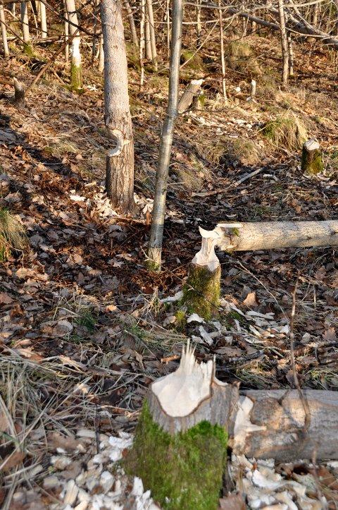 Flittig bever på ferde ved Kalstadtjenna