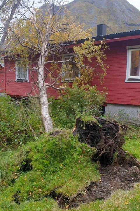VELTET: Et særs kraftig vindkast sleit treet opp med rota og sendte det mot huset i Ersfjorden.