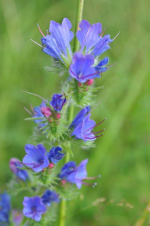 ORMEHODE: Litt senere, 3 juli, kom ormehode og oksetunge med sine vakre blå farger til. Begge disse er innført til landet, ormehode som ballast og er i spredning i Norge. Navnet ormehode gir ingen honnør til denne vakre planten. Da er det svenske navnet blå-eld mye hyggeligere.