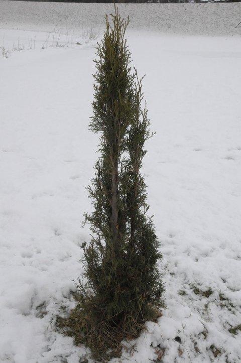 Rhododendronbuskene mine er alle spist opp, og nå har de gått løs på tujatrærne også, skriver Otto Skjermo.