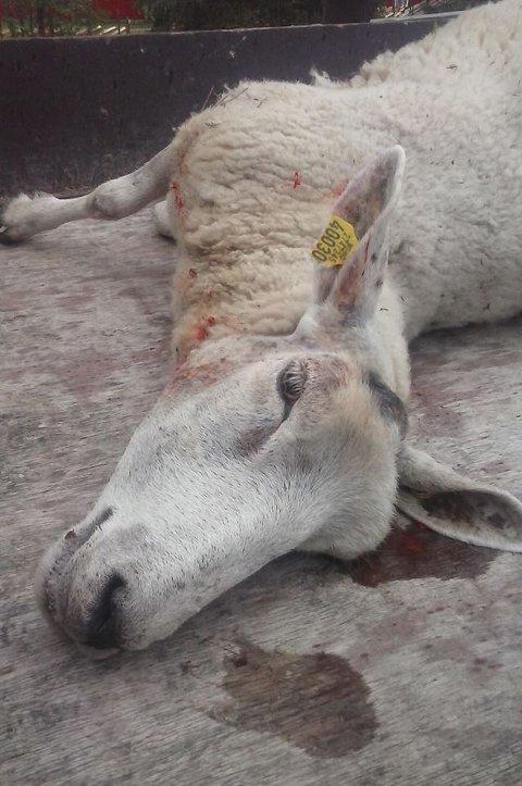 Døde: Ei søye og et lam døde etter hundeangrep i  Vang i går. Dette er et arkivbilde fra en sauepåkjørsel tidligere i sommer.