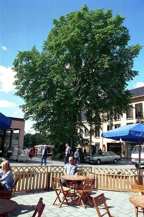 ALM: Det store treet nederst i Nansetgata er en alm.