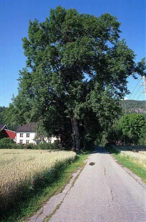 ASK.   To kjempemessige tuntær av ask i Lågendalen, her på  Odberg.