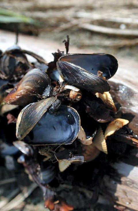 Blåskjellene i farvann som har algedannelser i sjøen, kan nå være giftige.