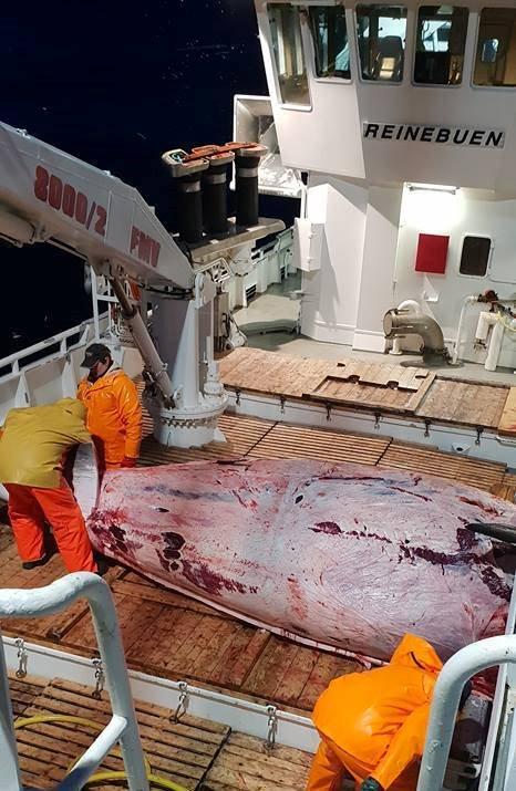 ÅRETS FØRSTE:_Kvalen var 8,2 meter lang og hadde en kjøttvekt på 1700 kilo