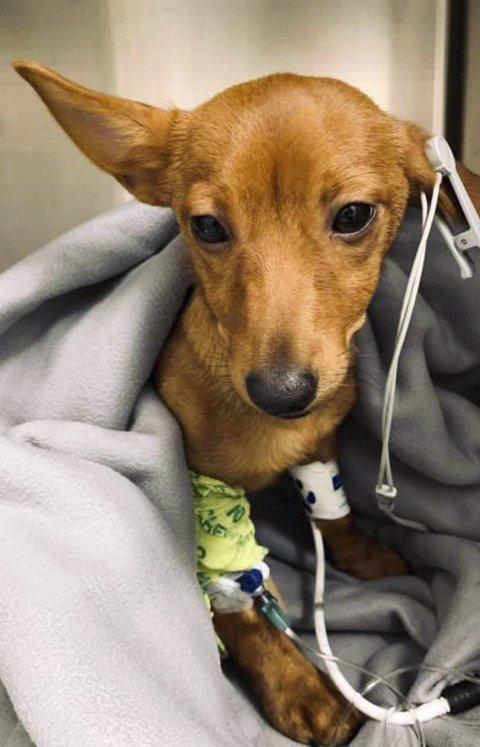 Lille Theo er en fem måneder gammel valp av typen podengo portuguese. Nå advarer både eieren og veterinæren andre om å være observante når de lufter hundene sine i Vågsbunnen.