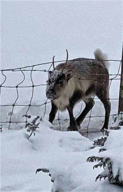 Dette dyret kom seg løs, men hadde trolig stått fast med hodet i flere dager.