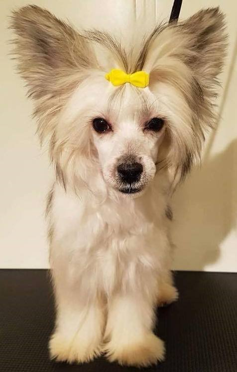 Lexi er en kinesisk nakenhund med pels. Nå er den kommet til rette. Foto: Privat