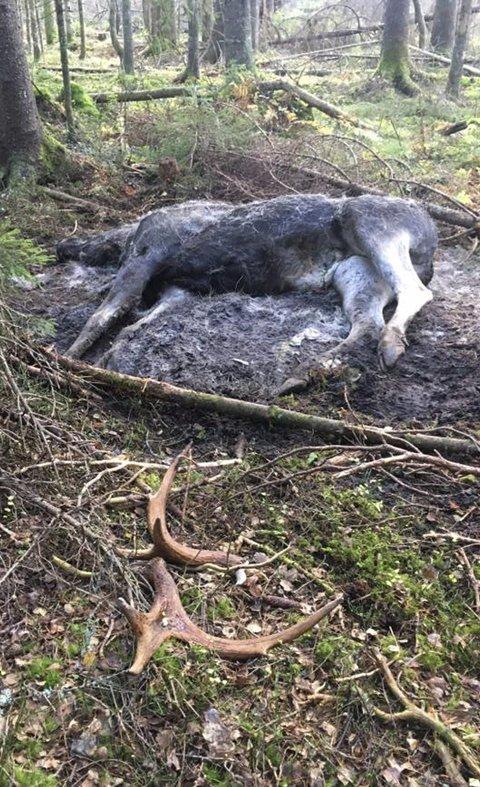 MÅTTE LIDE LENGE: Denne elgoksen er trolig påkjørt uten at noen har varslet politiet. Den har hatt store lidelser før den har dødd.