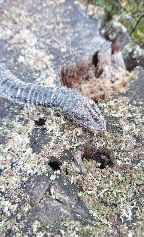 Stivfrossen: I slutten av januar fant Kine Græsberg en frossen orm mens hun var på luftetur med hunden.