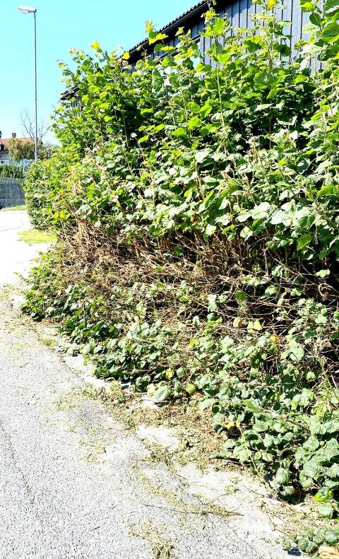 ENDTE I KLAGE: Kommunen har beskåret hekken. Eier har klaget.